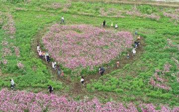 見ごろを迎えているハート形のコスモス畑=7日午前、読谷村座喜味(小型無人機で金城健太撮影)