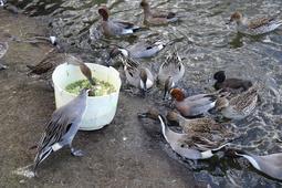 池に集まる冬鳥のカモ=伊丹市昆陽池3