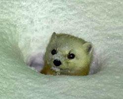 雪の斜面から顔を出すテン=5日夜