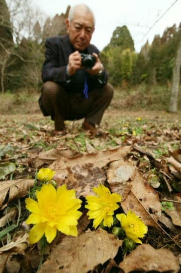 落ち葉の間から顔を出し、花を開いた福寿草=7日、竹田市直入町長湯