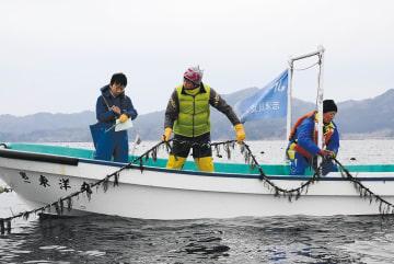 ヒジキの根を挟んだロープを海に投入する小野さん(中央)=6日、宮城県南三陸町の志津川湾