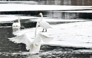 凍った池で羽を伸ばすハクチョウ=9日午後0時25分ごろ、盛岡市の高松の池