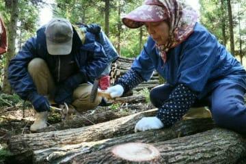 シイタケの駒打ち作業をする「サポートセンターやまなみ」の利用者ら=竹田市久住町