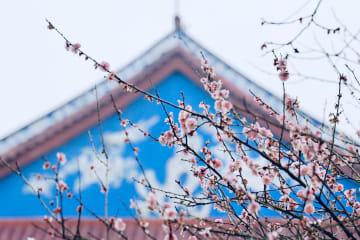 古刹に漂う梅の香り 福建省福州市