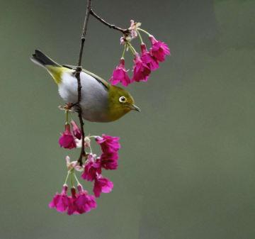 早春を告げる花と小鳥 福建省福州市