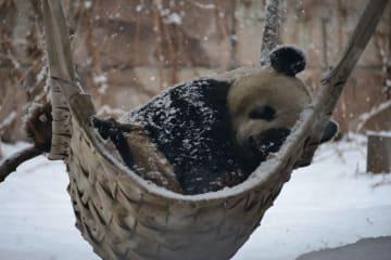 雪に大はしゃぎするパンダ 北京