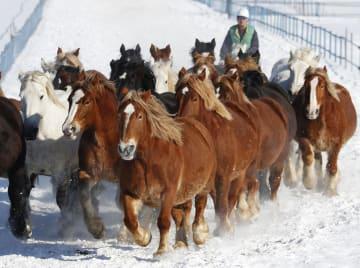 冬の運動不足解消や難産防止のため、雪上を走る出産を控えた牝馬=13日、北海道音更町