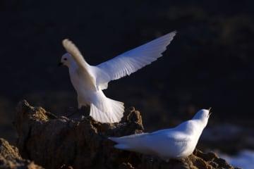 中国、南極でユキドリの自動モニタリング実施