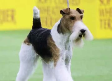 Westminster Dog Show 2019 Recap: 'King The Wire,' A Wire Fox Terrier, Takes Grand Prize