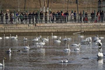 新春に舞う越冬のオオハクチョウ 新疆コルラ市