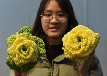 「バラの白菜」を発売 江蘇省南京市