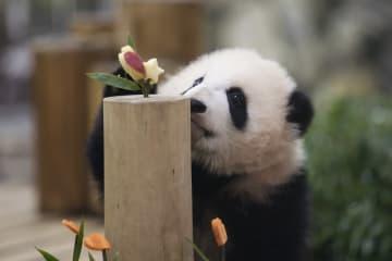 パンダの赤ちゃん「彩浜」生後半年を祝う 和歌山