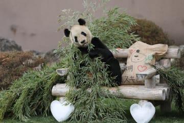 パンダ「永明」にバレンタインのプレゼント 和歌山県