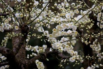観光客を迎える梅の花 安徽省歙県