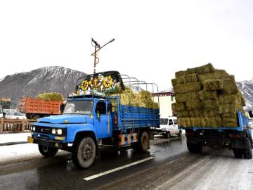 青海省玉樹チベット族自治州、豪雪被災地で飼料配布