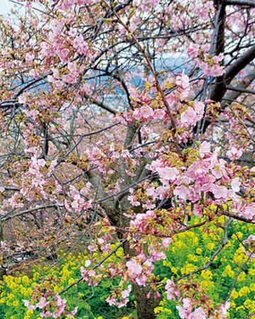 河津桜に菜の花が映える =2月12日撮影