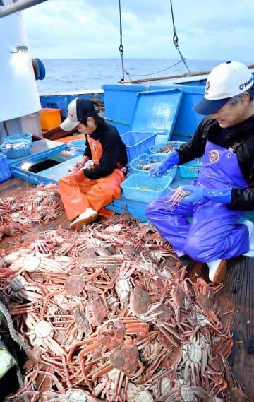 船上に揚げられたカニを選別する漁師たち。今シーズンは豊漁が続いている=2018年11月6日、福井県越前町沖