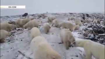 ホッキョクグマが餌求め街をうろつく ロシア北部の島