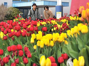 見頃を迎えているアイスチューリップ=海津市海津町油島、木曽三川公園センター