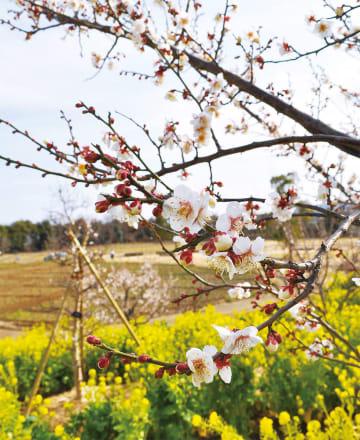 菜の花と梅が咲く丘の奥では、球根植物が見頃を控えている