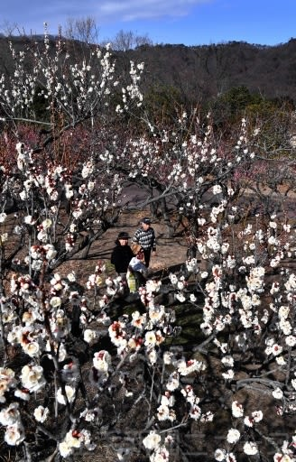 紅白の梅 甘く香る 桐生市南公園