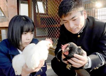 肥後ちゃぼの健康状態を確認する熊本農高の生徒=熊本市南区