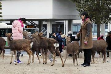 나라 사슴, 부상자 80% 외국인