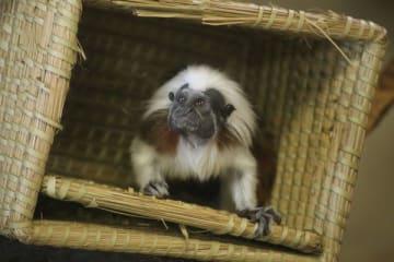 死んだ雌のワタボウシタマリン=2月2日、那須町大島(那須どうぶつ王国提供)