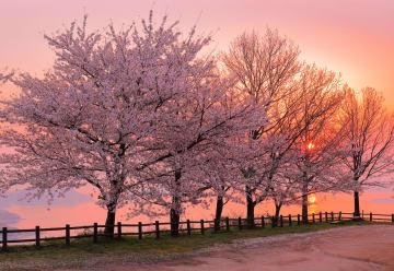 世界のメディアが認めた!日本の絶景「三豊市紫雲出山の桜」