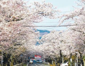 原発事故前の夜の森の桜並木=2010年4月(福島県富岡町提供)