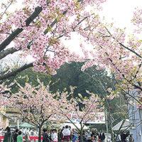 河津桜が楽しめる「平戸永谷川さくらまつり」