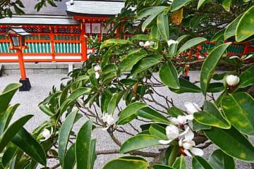 【熊野速玉大社の境内で白い花を咲かせているオガタマノキ(和歌山県新宮市で)】