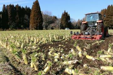 安値のため収穫しなかった大根を処分する卯野農場=竹田市菅生