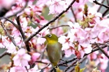 五島で河津桜見頃 「雨水」 島原で21・3度 [長崎県]