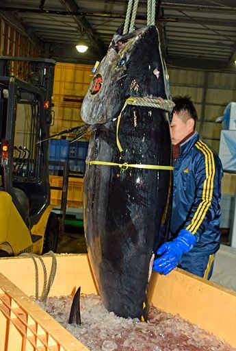 今漁期から大型魚の漁獲規制が導入されたクロマグロ=1月、大間港