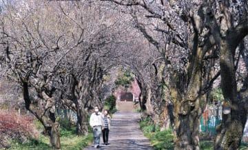 梅のトンネル見ごろに@秦野・香雲寺~3月中旬頃