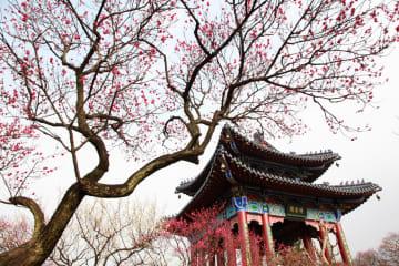 中国各地から梅の開花の便り