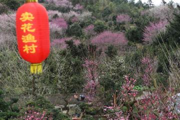 新春に咲く梅の花 安徽省歙県