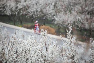サクランボの花見で農村振興 貴州省大方県