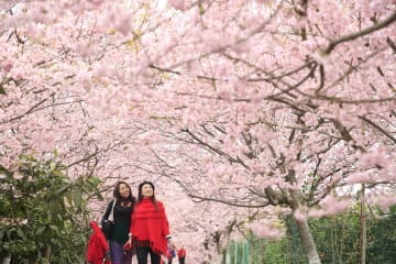 早咲きの桜が見頃、村に大勢の花見客 重慶市北碚区