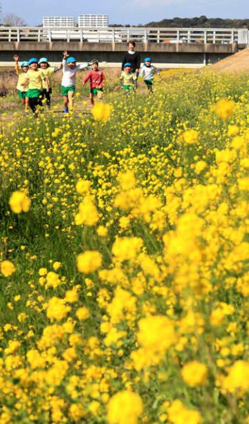 新別府川堤防沿いに咲き誇る菜の花=20日午後、宮崎市大島町