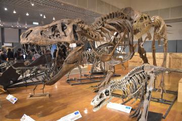 大きさが異なるティラノサウルス3体の全身骨格=坂東市大崎