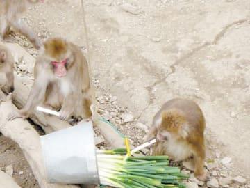 旬を迎えた「深谷ねぎ」を楽しむニホンザル=長瀞町の宝登山小動物公園(深谷市提供)
