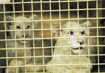 成田空港に到着したホワイトライオンの赤ちゃん=20日、成田空港貨物地区