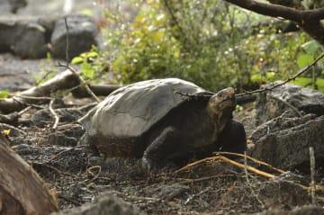 20日、エクアドルのサンタクルス島に移送されたゾウガメ(ガラパゴス国立公園提供、AP=共同)