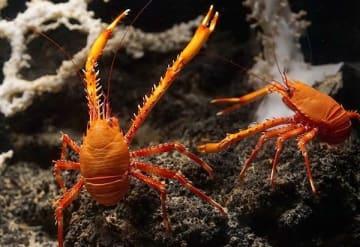 実は〝新種エビ〟だった 美ら海水族館で10年以上展示…「シマツノコシオリエビ」 世界26種目の発見
