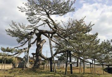 福島県南相馬市の「泉の一葉松」