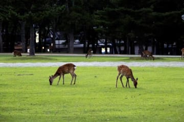 奈良公園のシカ、被害者の多くが中国人なのはなぜ?=中国ネットユーザーが議論