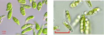 ミドリムシ(左)とデンソーが研究を進めるコッコミクサK(写真:ユーグレナの発表資料より)