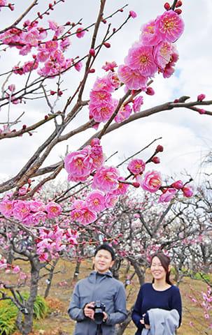 ぽかぽか陽気で早咲きの紅梅や白梅が咲き来場者の目を楽しませている=安八郡安八町外善光、安八百梅園